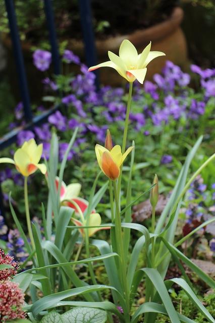 おしゃれ,庭,ガーデニング、素敵,原種チューリップ