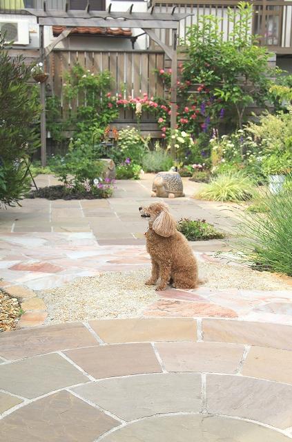 犬,ペット,庭,ガーデニング,トイプードル