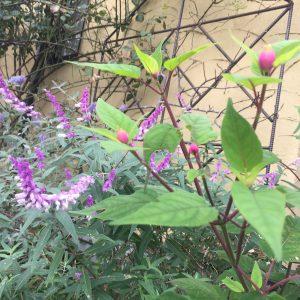 秋お勧めの植物,ローズリーフセージ,メキシカンセージ,切り戻し,ナチュラルガーデン,グレイスオブガーデン,秋のおしゃれな庭