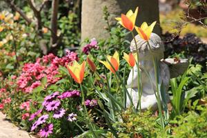 おしゃれ,庭,原種のチューリップ,春の庭