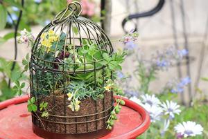 可愛い鳥かご,かわいい寄せ植え,ワークショップ,シッサスシュガーパイン,グリーンネックレス,リナリア プルプレア ミックス,プリムラ オーリキュア