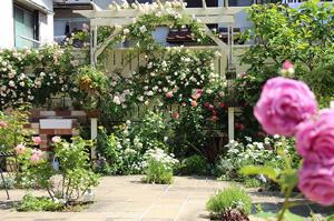 おしゃれなパーゴラに誘引されたバラのある庭