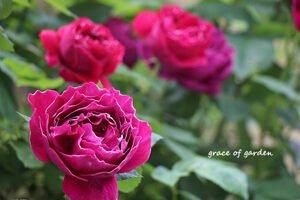 薔薇,ばら,バラ,rose,バロンジロードラン,小さな庭,グレイスオブガーデン