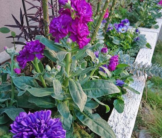 ストックのビンテージの香りは大好き!春花でダントツの香り