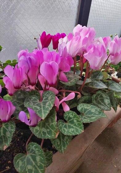 芳香性のシクラメンは花びらも大きい