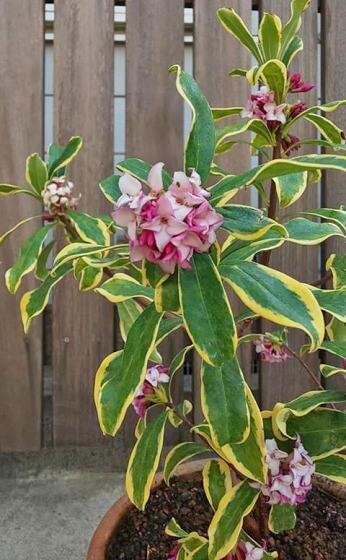 斑入り沈丁花はクチナシのように虫もつかず葉のコントラストも美しく優等生