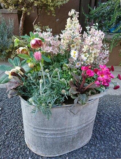 サクラソウ・ウィンティーと銅葉さくら草は見た目よりずっと素晴らしい香り